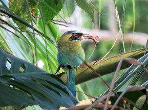 a Photo of a Blue-crowned Motmot, birdwatching Pipeline Road Panama