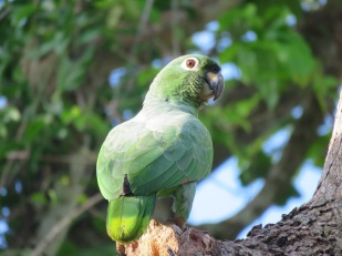 A photo of a Mealy Parrot, birding Pipeline Road Panama