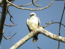 A photo of a White Hawk, birding Pipeline Road Panama