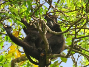 A photo of a Howler Monkey with baby taken whilst birdwatching on Pipeline Road, Panama