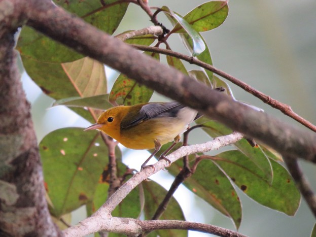 A photo of a Prothonotory Warbler, birdwatching on Pipeline Road Panama