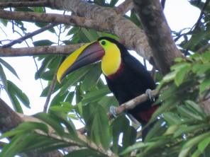 A photo of a Chestnut-mandibled Toucan, birdwatching Pipeline Road Panama