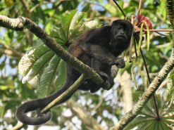 A photo of a Howler Monkey taken whilst birding Pipeline Road, Panama