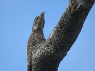 A photo of a Great Potoo, birdwatching on Pipeline Road Panama