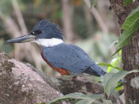 A photo of a Ringed Kingfisher, birdwatching Pipeline Road Panama