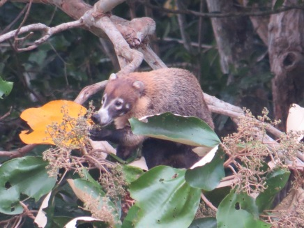 A photo of a Coati taken whilst birdwatching on Pipeline Road, Panama