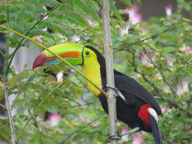 A photo of a Keel-billed Toucan, birding Pipeline Road Panama