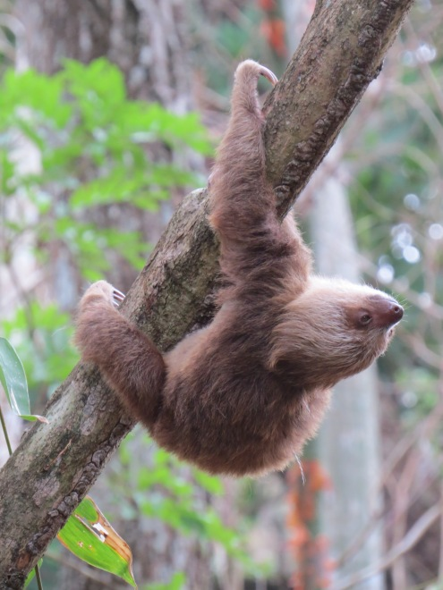A photo of a Two-toed Sloth, birding Pipeline Road Panama