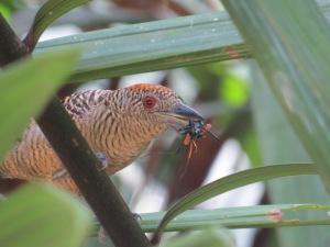 A photo of a Female Fasciated Antshrike, birdwatching Pipeline Road, Panama
