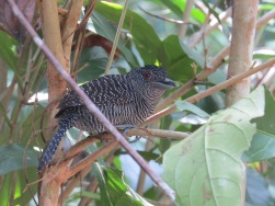 A photo of a Male Fasciated Antshrike, birding Pipeline Road Panama