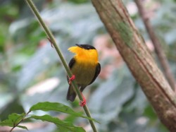 A photo of a Golden-collared Manakin whilst birdwatching on Pipeline Road, Panama