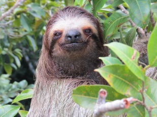 A photo of a Three-toed Sloth, birdwatching Pipeline Road Panama