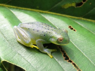 A photo of a Glass Frog, birding Pipeline Road Panama