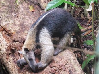 A photo of a Tamandua whilst birdwatching on Pipeline Road, Panama
