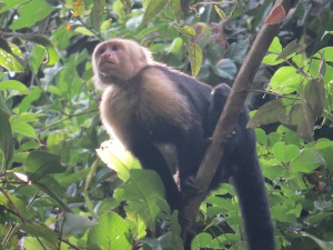 A photo of a Capuchin Monkey, birding Pipeline Road Panama