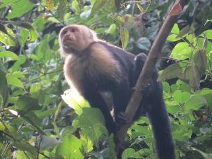A photo of a Capuchin Monkey, birding Pipeline Road Panama
