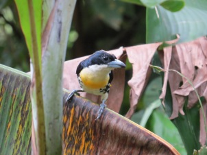 A photo of a Spot-crowned Barbet whilst birdwatching near Pipeline Road, Panama
