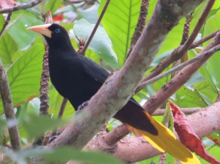 A photo of a Crested Oropendola, birding Pipeline Road Panama