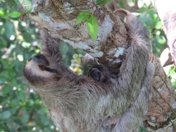 A photo of a three-toed sloth with baby, whilst birdwatching Pipeline Road Panama