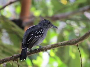 A photo of a Western Slaty-Antshrike, birdwatching on Pipeline Road Panama