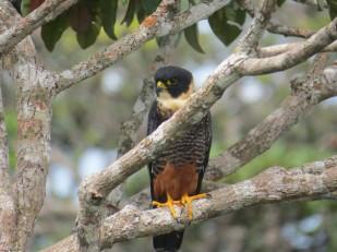 a Photo of a Bat Falcon, birding Pipeline Road Panama