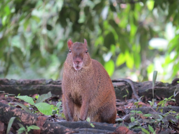 a Photo of an Agouti whilst birdwatching on Pipeline Road, Panama