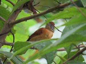 A photo of a Barred Antshrike, birding Pipeline Road Panama