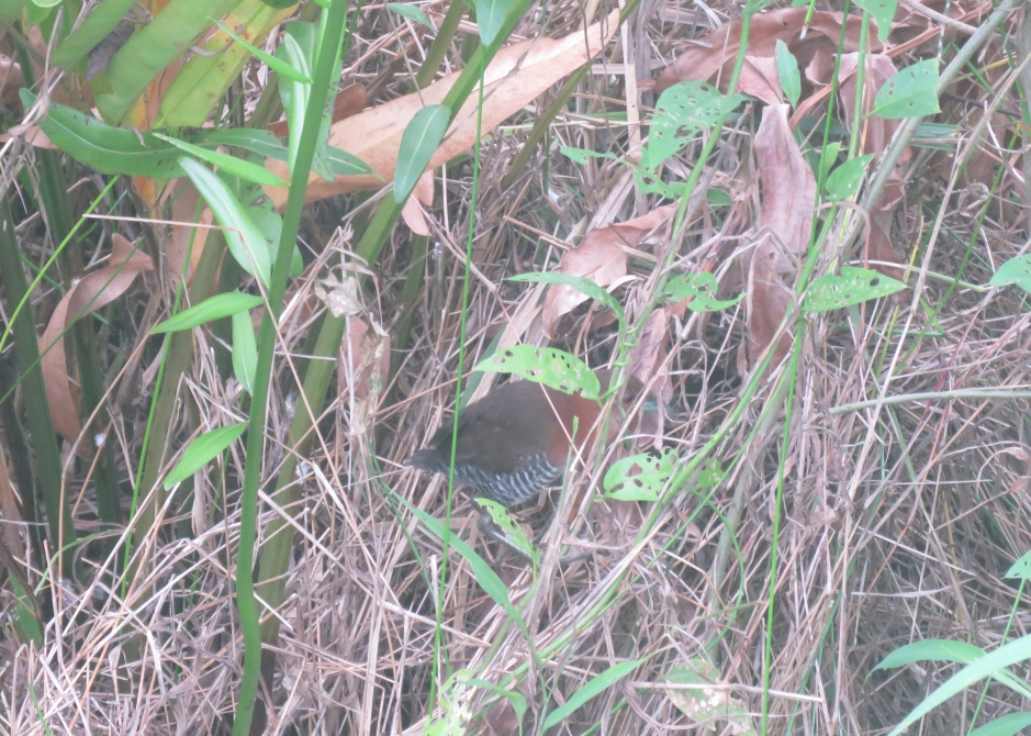 A photo of a White-throated crake near Pipeline Road, Panama