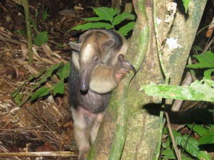 Photo of a Tamandua whilst birdwatching Pipeline Road, Panama
