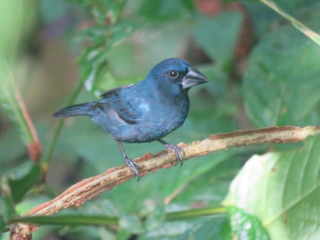 A photo of a Blue-black Grosbeak, birding Pipeline Road Panama