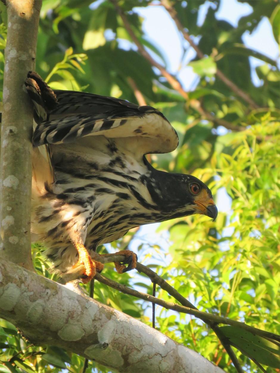 A photo of a Dark-morph immature Gray-Headed Kite in Gamboa