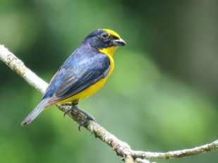 A photo of a Thick-billed Euphonia, birdwatching near Pipeline Road, Panama