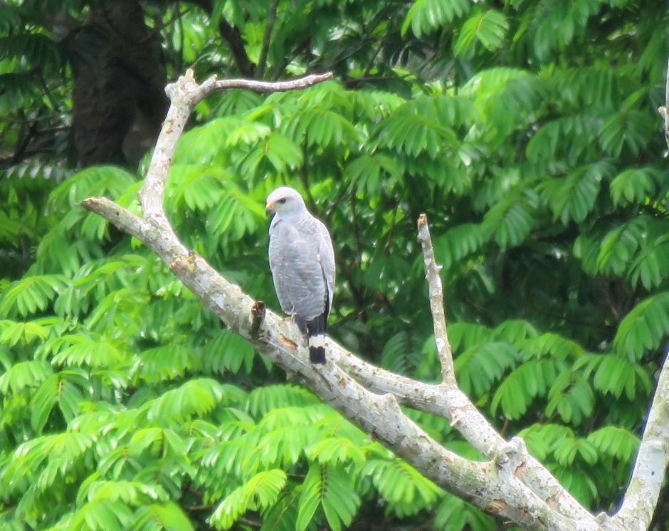 A photo of a Gray Hawk near Pipeline Road, Panama