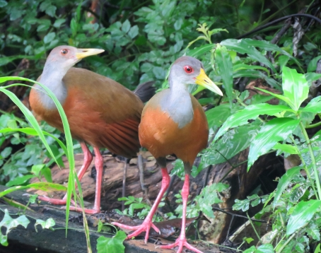 A photo of Gray-cowled Wood-Rails, Birding Pipeline Road Panama