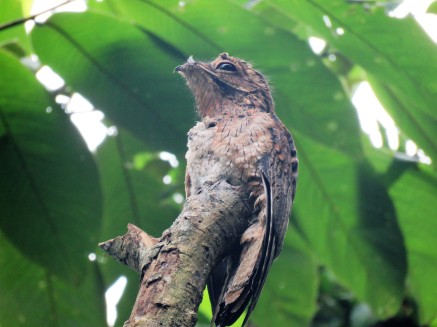 A photo of a Common Potoo brooding a chick taken whilst birdwatching on Pipeline Road Panama