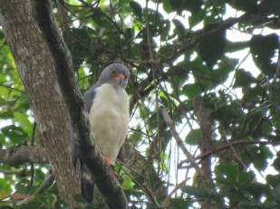 A photo of a Semiplumbeous Hawk taken whilst birdwatching on Pipeline Road Panama