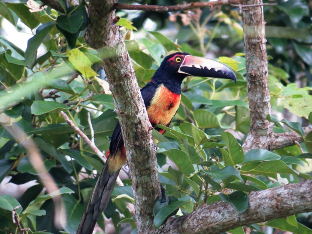 A Photo of a Collared Aracari whilst Birdwatching Pipeline Road, Panama