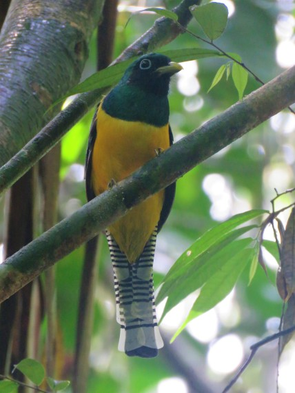 A Photo of a Black-throated Trogon whilst Birdwatching Pipeline Road, Panama
