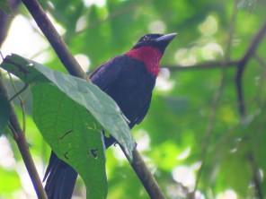 A photo of a Purple-throated Fruitcrow, birding Pipeline Road Panama