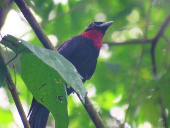 A photo of a Purple-throated Fruitcrow, birding Pipeline Road Panama
