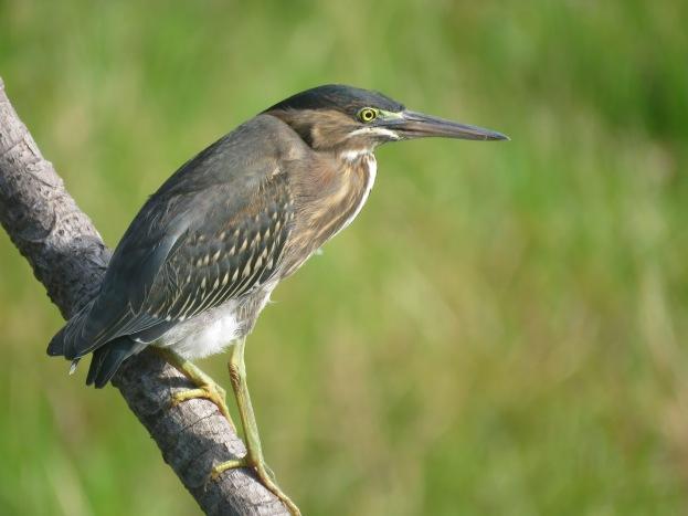 A photo of a Green Heron, birdwatching Lake Gatun Gamboa