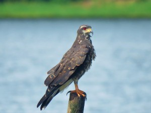 A photo of a Snail Kite, birdwatching Lake Gatun