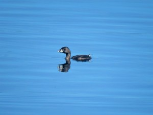 A Photo of a Pied-billed Grebe, birding Lake Gatun Gamboa