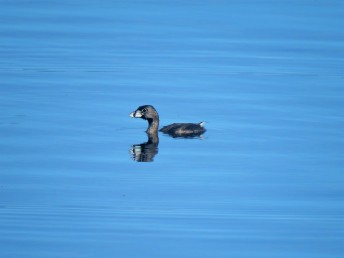 A Photo of a Pied-billed Grebe, birding Lake Gatun Gamboa