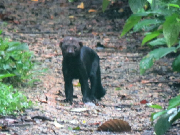 A photo of a Tayra taken whilst birdwatching Pipleine Road, Panama.