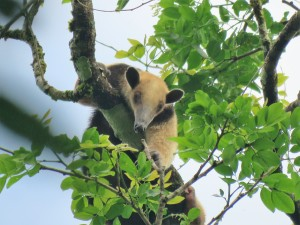 A photo of a Tamandua taken whilst birding Pipeline Road, Panama