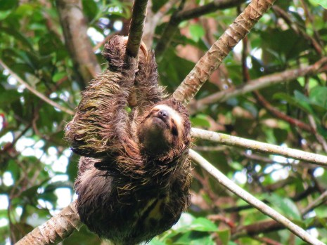 A photo of a Three-toed Sloth on Pipeline Road, Panama