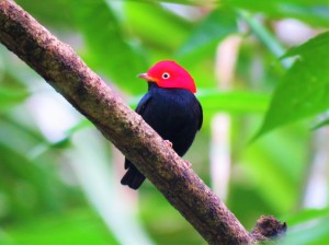 A Photo of a Red-capped Manakin, Birdwatching Pipeline Road Panama