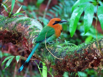 A photo of a Broad-billed Motmot on Pipeline Road, Panama