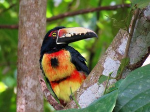A photo of a Crested Aracari, birdwatching Pipeline Road Panama